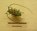 Sternotomis pulchra-Musée zoologique de Strasbourg.jpg