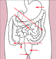 Stomach colon rectum diagram (arrow version).png