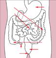Stomach colon rectum diagram (arrow version).png