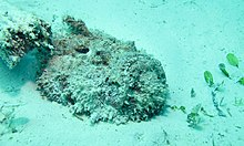 Stonefish (Synanceia verrucosa) (6123739451).jpg