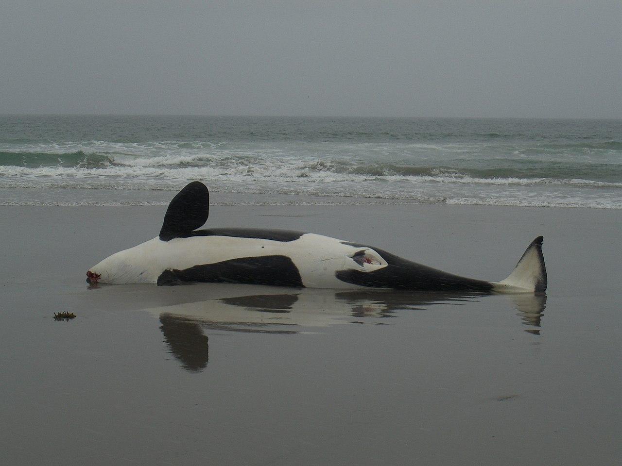 Killer Whale Wikipedia | Autos Post