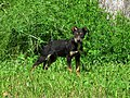 Stray dog Frayser Memphis TN 2013-05-12 006.jpg