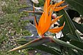 Strelitzia reginae 32zz.jpg