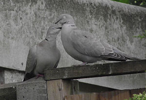 English: A Collared Dove pair preening each other