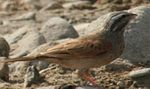 Striolated Buntings-cropped.jpg
