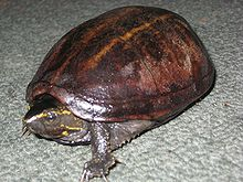 Striped Mud Turtle 20090306 rbrown.jpg