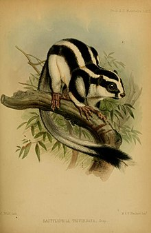 Colour illustration of a striped possum sitting on a tree branch