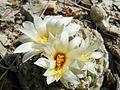 Strombocactus disciformis (5780160917).jpg