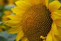 Sunflower, Furano (7662407398).jpg