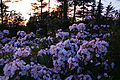 Sunset-spring-wildflowers-bouquet - West Virginia - ForestWander.jpg