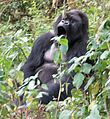 Susa group, mountain gorillas - Flickr - Dave Proffer (14).jpg