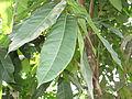 Swietenia macrophylla - മഹാഗണി 01.JPG