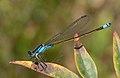Sydney dragonfly Victoria Park pond 8.jpg