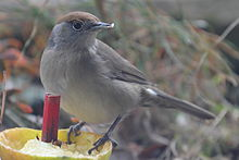 A female Blackcap eating a halved apple
