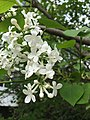 Syringa white flower.jpg