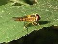 Syrphidae Wyn1.jpg