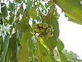 Syzygium cumini Jambul rawfruit Kambalakonda Visakhapatnam.JPG