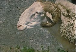 Image illustrative de l'article Tarasconnaise (race ovine)