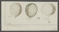 Taenia hydatigena - - Print - Iconographia Zoologica - Special Collections University of Amsterdam - UBAINV0274 105 19 0038.tif