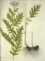 Tanacetum macrophyllum.png