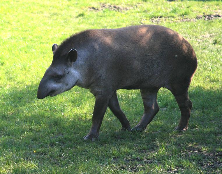 Laaglandtapir