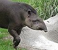 Tapirus terrestris portrait.jpg