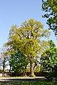 Tarasove Lutskyi Volynska-Group of oaks-giant-view from hospital territory-1.jpg
