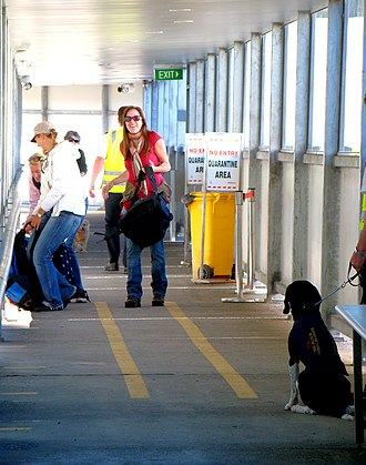 Australian Quarantine and Inspection Service - Dog at work searching for fruit in the luggage of passengers embarking from a boat to Tasmania