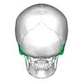 Temporal bone posterior.png