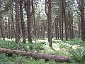 Tentsmuir Forest - geograph.org.uk - 1454312.jpg