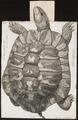 Testudo graeca - 1700-1880 - Print - Iconographia Zoologica - Special Collections University of Amsterdam - UBA01 IZ11600033.tif