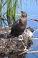 Tethered cormorant domesticated fisher Uros Islands Peru.jpg
