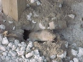 Texas pocket gopher.jpg