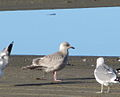 Thayer's Gull, Morro Creek.jpg
