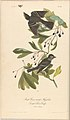 The Birds of America from Drawings Made in the United States MET DP245248.jpg