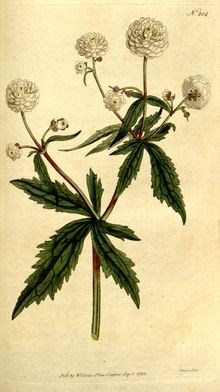 The Botanical Magazine, Plate 204 (Volume 6, 1793).png