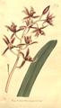 The Botanical Magazine, Plate 387 (Volume 11, 1797).png