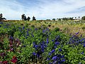 The Flower Fields at Carlsbad Ranch 102 2014-04-28.jpg
