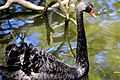 The Illusive Black Swan (6744712069).jpg