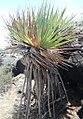 The Rodrigues Screwpine - Pandanus heterocarpus - Anse anglaise 2.jpg