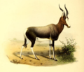 The book of antelopes (1894) Damaliscus pygargus.png
