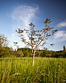 The small lonesome Tree (7235694918).jpg
