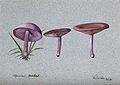 The wood blewit fungus (Lepista nuda); three fruiting bodies Wellcome V0043336.jpg