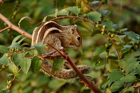 Three-stripedPalmSquirrel TRShankarRaman Daroji.jpg