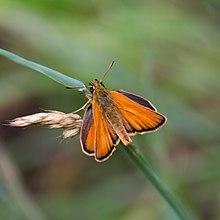 Thymelicus sylvestris-Hespérie de la houque-20180613.jpg