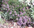 Thymus camphoratus.jpg
