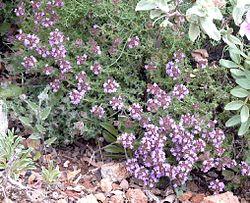Herbatika-lekovito bilje  - Page 2 250px-Thymus_camphoratus