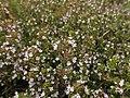 Thymus vulgaris 2020-06-06 9325.jpg