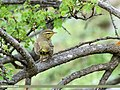 Tickell's Leaf Warbler (Phylloscopus affinis) (35006925214).jpg