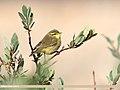Tickell's Leaf Warbler (Phylloscopus affinis) (37564978242).jpg
